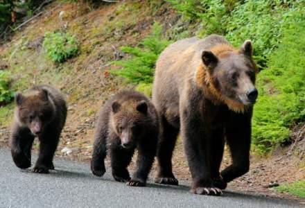 Proiect de 11 milioane de euro pentru numărarea populației de urs din România