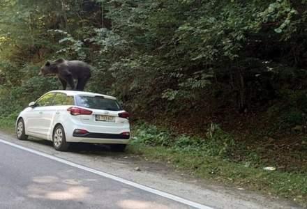Urs fotografiat pe o mașină ajunsă pe un traseu turistic din Munții Făgăraș