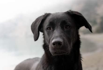 Un câine dispărut de un an, s-a întors acasă. A fost găsit de Poliția Arad