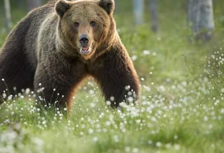 Ordonanța care permite împușcarea urșilor a fost adoptată de Senat