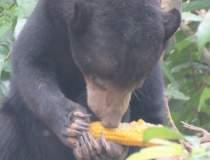 Urșii au făcut ravagii anul...