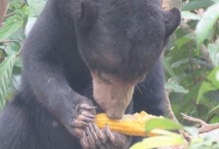 Urșii au făcut ravagii anul acesta în Harghita. Numărul pagubelor s-a dublat