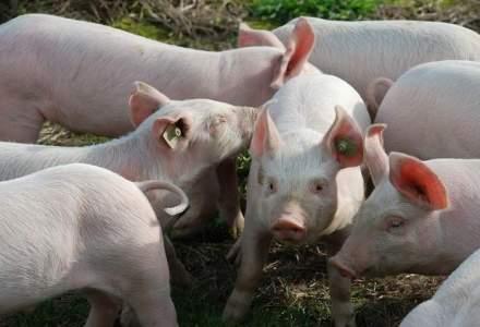Romanii mananca 1 milion de porci de Craciun, o septime din consumul anual