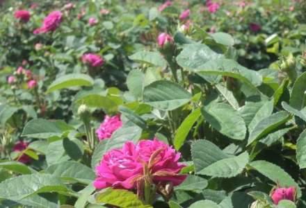 A lucrat in strainatate si s-a intors in tara pentru a investi intr-o plantatie de trandafiri pentru dulceata