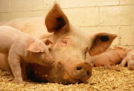 Romania poate, in sfarsit, sa exporte carne de porc in China