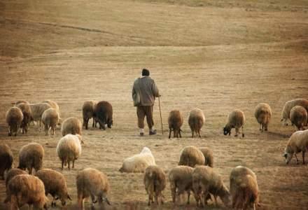 Viata la stana: cat castiga intr-o luna un cioban angajat cu ziua