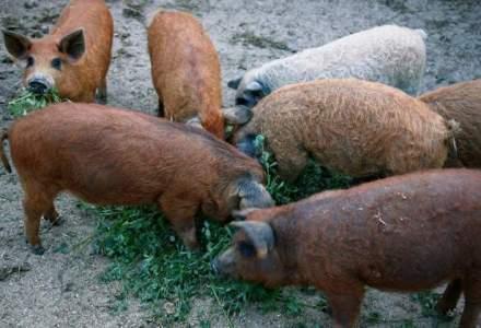 Ferma de porci Mangalita, o afacere care isi reintra in drepturi: in cat timp recuperezi investitia