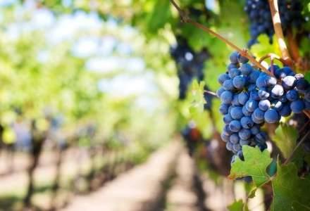 """Vacante """"imbatatoare"""": ce putere are turismul viticol in Romania"""