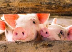 Ministerul Agriculturii: România asigură doar 30% din consumul cărnii de porc...