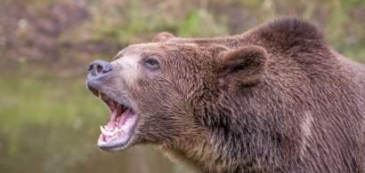 Top cele mai grave atacuri ale urșilor din România în 2021