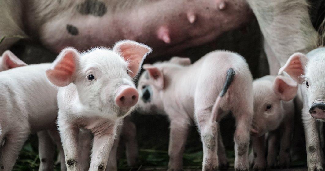 Românii au plătit cu 20% mai mult pentru carnea de porc, din cauza pestei pornice