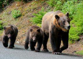 Harghita: O ursoaică cu pui a intrat în bucătăria unei case; proprietara s-a...
