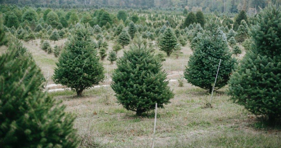 Brazi de Crăciun ieftini: Romsilva pune în vânzare 42.624 de pomi