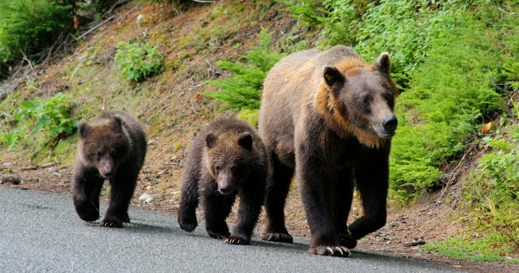 Președinte CJ: Menţinerea numărului mare de urşi este o crimă împotriva umanității
