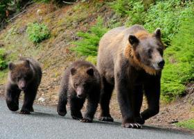 Președinte CJ: Menţinerea numărului mare de urşi este o crimă împotriva...