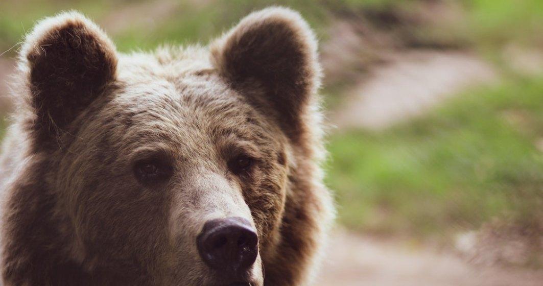 Tanczos Barna ar vrea ca urșii care fac probleme să poată fie sedați sau împușcați în 24 de ore după atac. Decizia va fi discutată în coaliție
