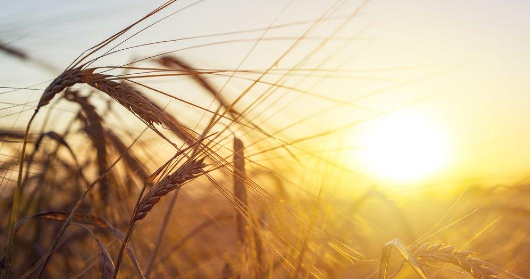 Efectele ploilor abundente: Doar jumătate din grâul european va fi folosit în 2021, restul va fi folosit ca nutreț