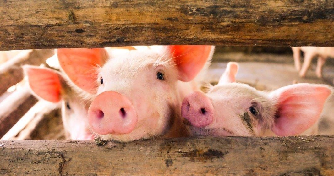 ANSVSA: Pesta porcina africana, in 24 de judete din Romania