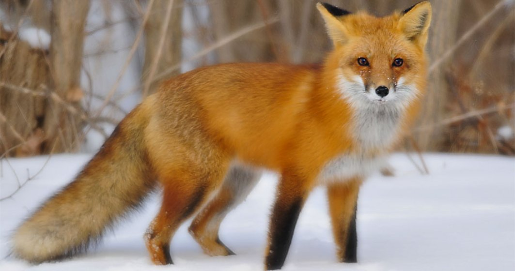 Incompetenta PSD distruge si fauna Romaniei: zeci de mii de vulpi, sacrificate