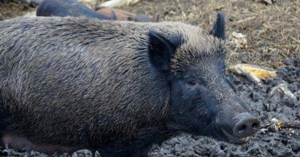 Numarul de focare de pesta porcina se apropie de 1.000 de cazuri in 291 de...