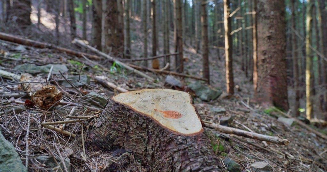 Bistrita-Nasaud/Garda Forestiera a numarat peste 5.770 de copaci taiati ilegal in Muntii Rodnei, la finalizarea controlului la Cormaia-Anies