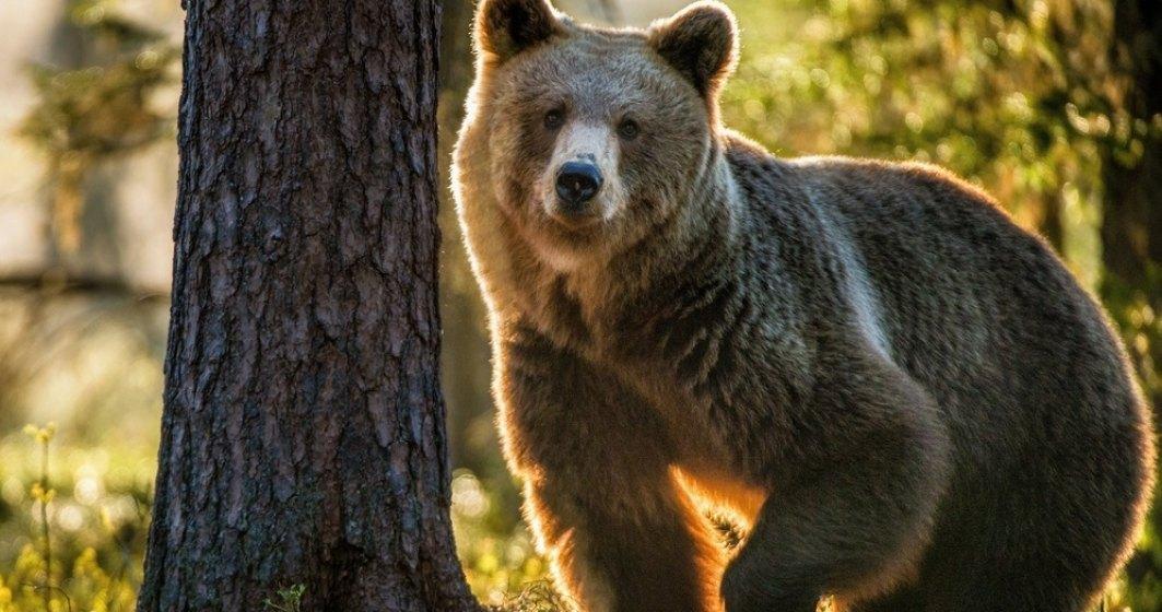 Ministrul Mediului: Braconajul va fi răspunsul cetăţenilor la situația urșilor