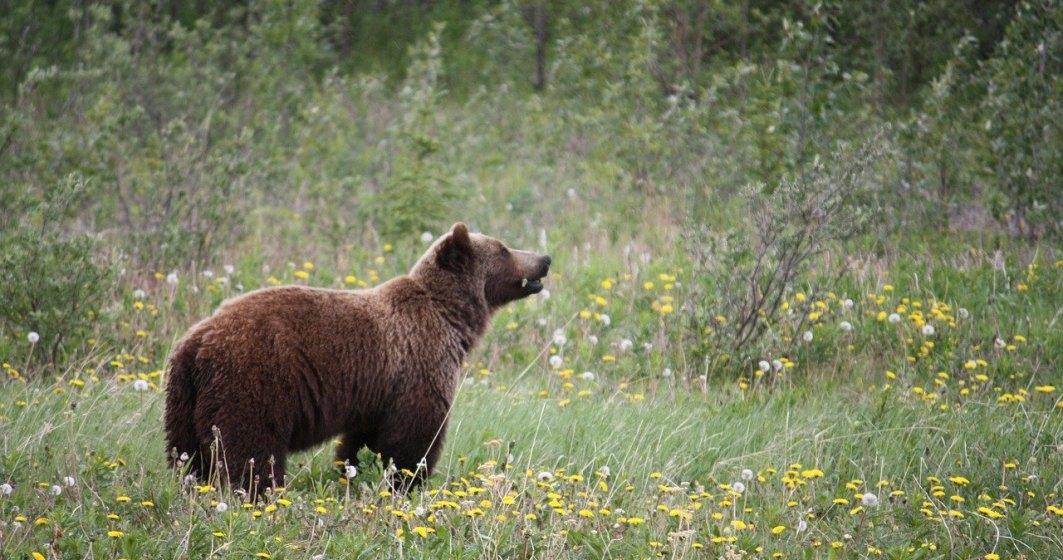 Ministerul Mediului vrea să modifice legislația: urșii agresivi ar putea fi împușcați în 24 de ore