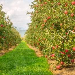 Afacere cu pomi fructiferi: 5...