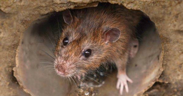 Un șobolan folosit la detectarea minelor a fost decorat pentru curaj și...