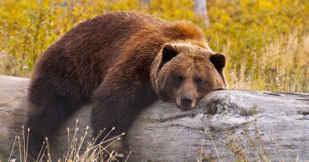 Încă un bărbat atacat de urs în Harghita: este al treilea atac în ultimele săptămâni