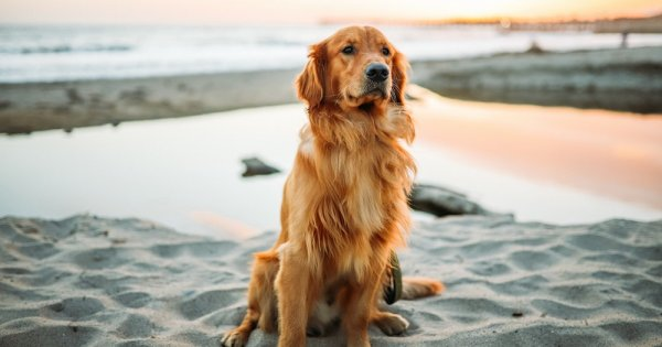 Câinii și nasul lor fin. Cum își poate da seama câinele tău dacă nu ești o...
