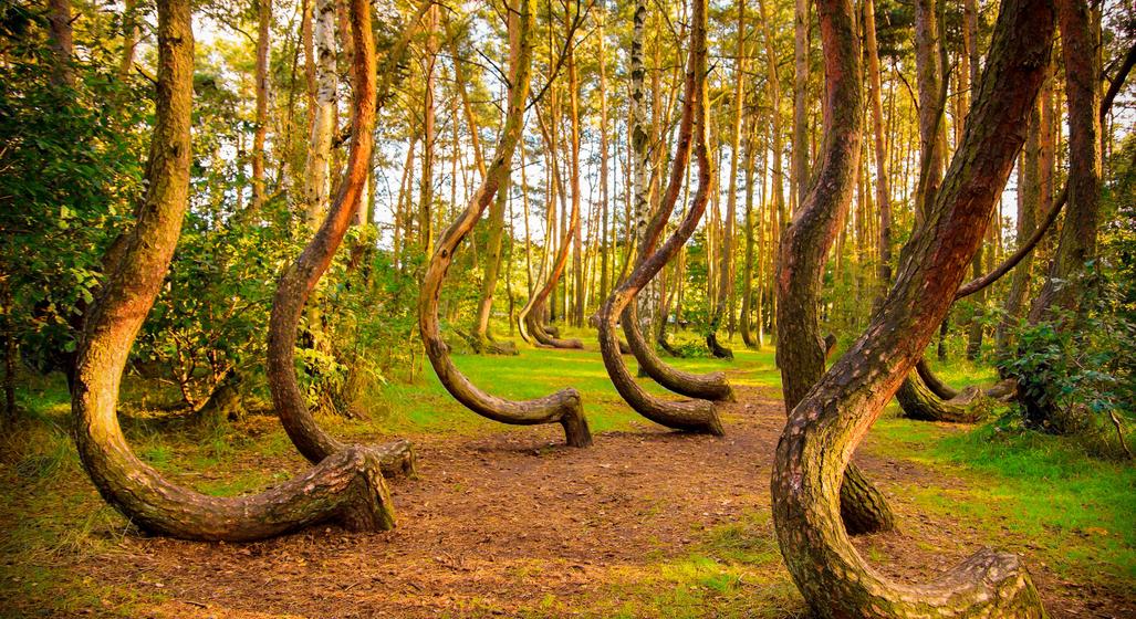 Pădurea Strâmbă - Polonia